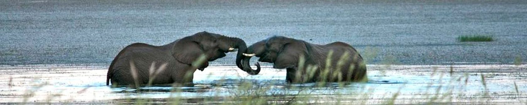 Elephants-swimming-news
